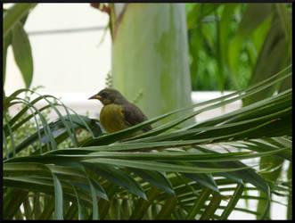 Yellowthroated Warbler