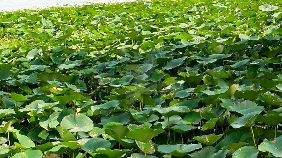 beautiful lily pads at Lake Manawa by tp32