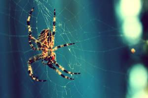 Spider On Blue