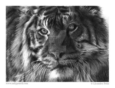 Siberian Tiger by chandito