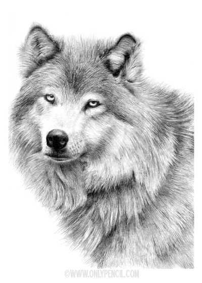 White Wolf by chandito White Wolf Blue Eyes Face