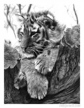 Tiger Cub Taking A Break