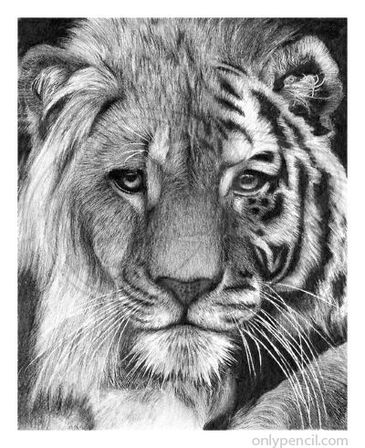 Tiger hybrid - photo#53