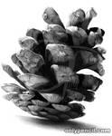 Pine Cone by chandito