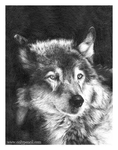 black and white wolf drawings
