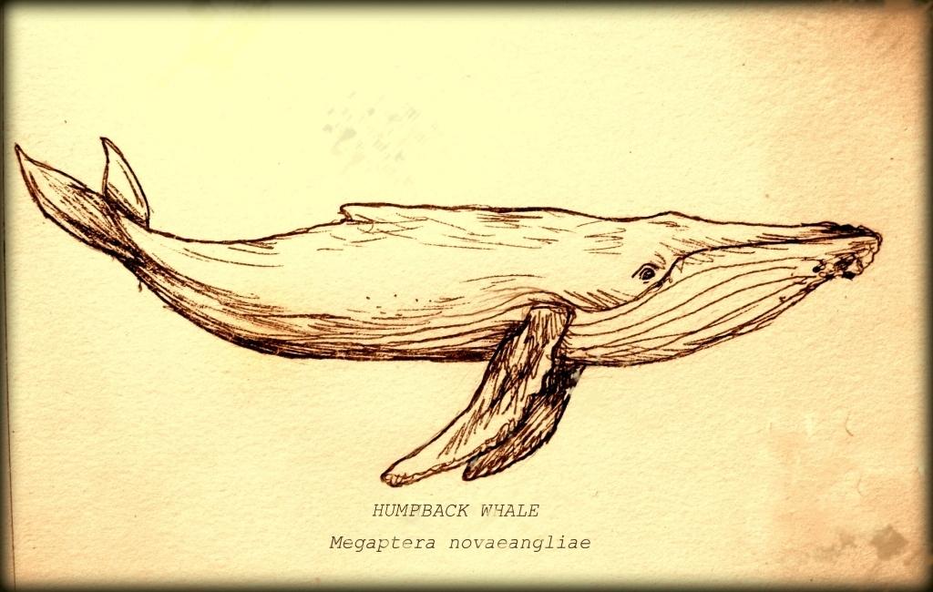humpback drawing | Art | Pinterest
