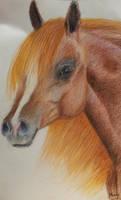 Chestnut Arabian - April 2013