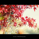 .:Japanese Red Maple:.