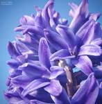 .:Magical Hyacinth:.
