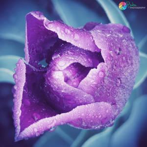 .:Violet Tulip Tears:.