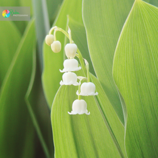 .:Lily Of The Valley:. By Bogdanici On DeviantArt