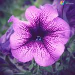 .:Petunia:.
