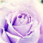 .:Lavender Rose:.