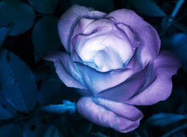 A rose in IR by twombold