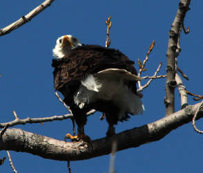 eagle_5804 by twombold