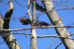 Black Squirrel 03-15-2020/04