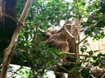 Zoo Zurich - Sleepy Sloth