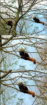Zoo Zurich - Red Pandas