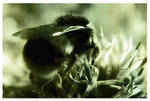 Bumble Bee Feeding