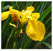 Flower Stock ( Yellow Iris) by fineartbyandrewdavid