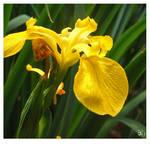 Flower Stock ( Yellow Iris)
