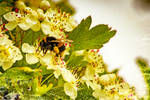 A Bumble Bee Feeding On Some Crataegus Flowers