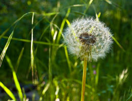 Dandelion Puff Macro by stock-pics-textures