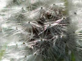 Dandelion Macro by stock-pics-textures