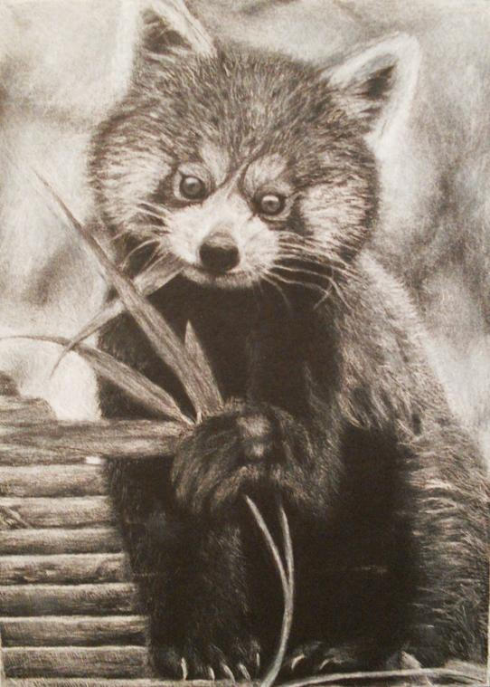 Red Panda Eating Bamboo By Violettehal0z On Deviantart