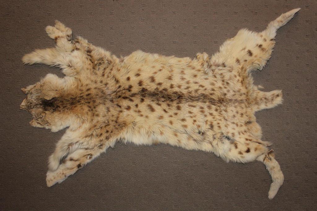 Eurasian Lynx Pelt By LuxTaxidermy