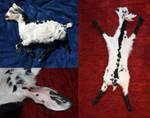 Spotty goat kid