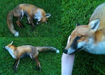 Red Fox Roadkill 14 June