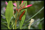 Frumpy Caterpillar