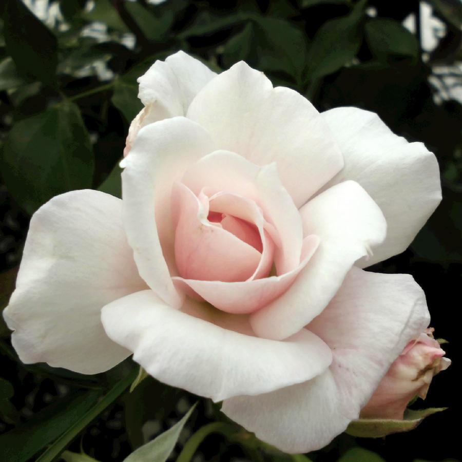 Soft Wish by Xymphonie
