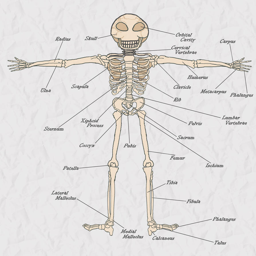 Nightmaren Anatomy Skeletal System By Novum Semita On Deviantart