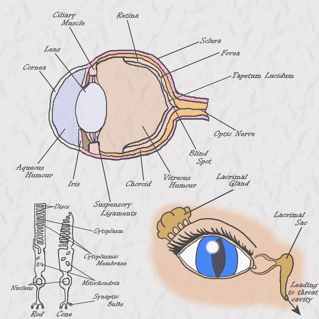 Nightmaren Anatomy Eye By Novum Semita On Deviantart