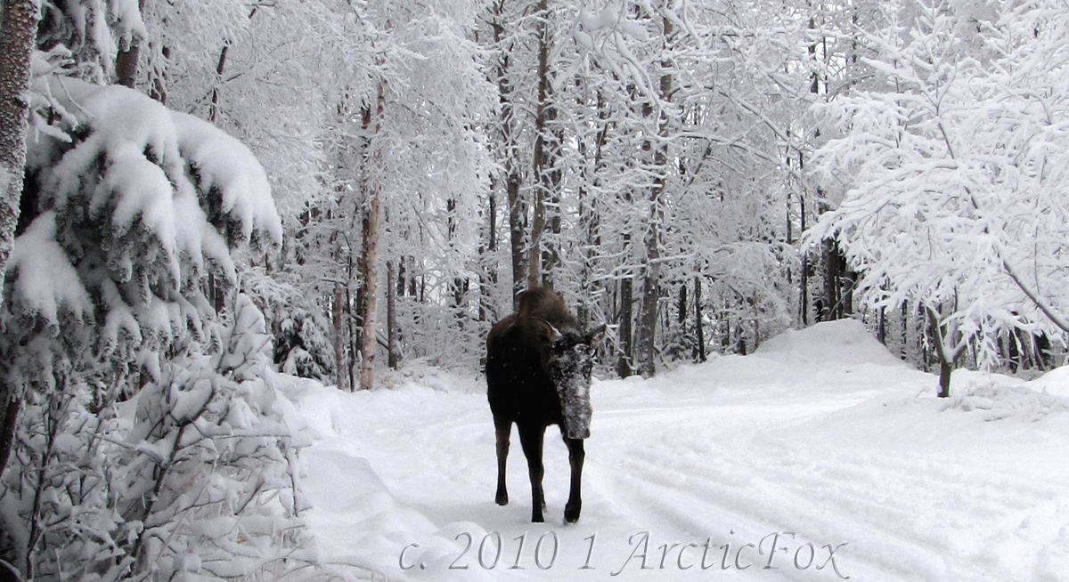 MY ALASKA WALKING COMPANION by 1arcticfox