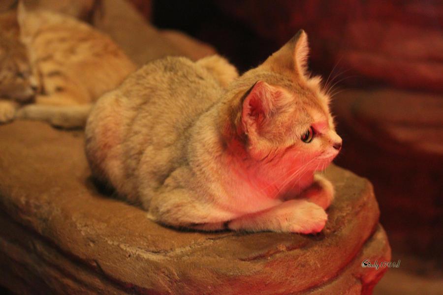 Desert Sand Cat by cindy1701d