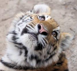 Amur Tiger Baby