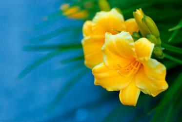 Yellow Lily by zdfalk