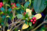 Holly Berries in the Last of Winter by zdfalk