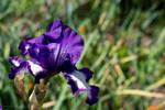 Iris by zdfalk