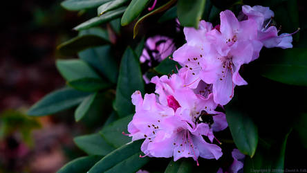 Rhododendron with a visiting Bumblebee