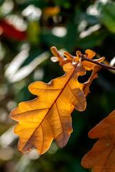 Winter Oak Leaf