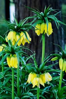 Crown imperial in full bloom