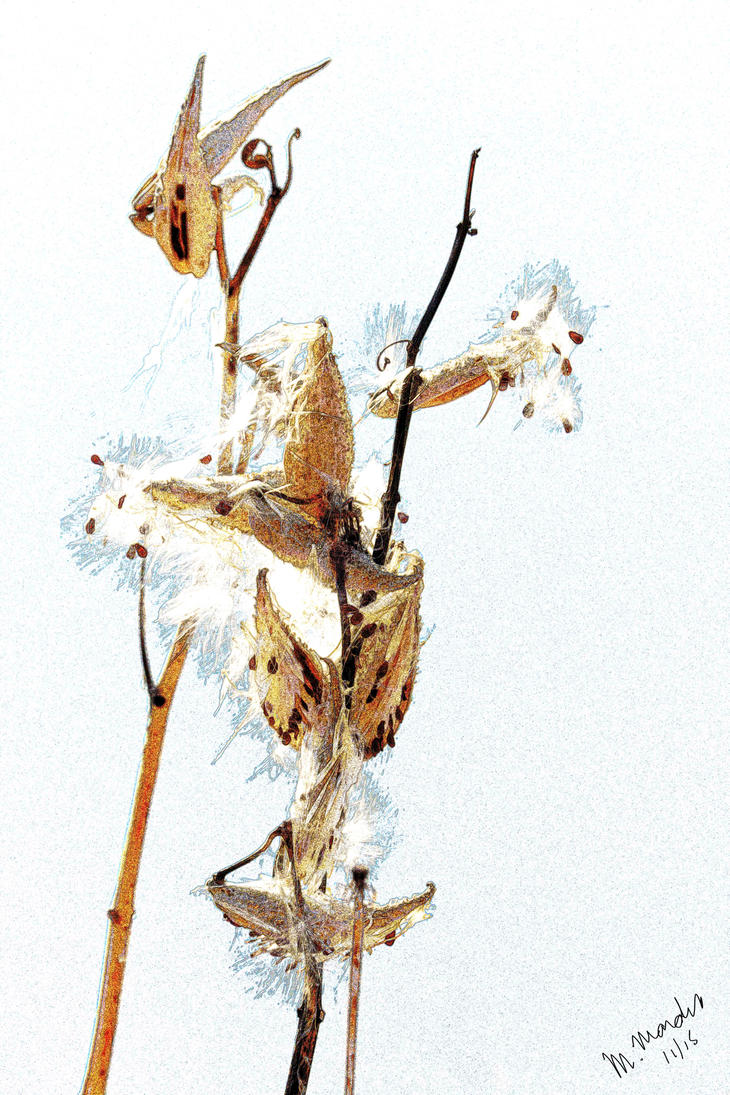 Milkweed Pod : Honorable Mention MOCA Donnie Award by moratorian