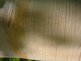 Bark Texture 01 by Lengels-Stock