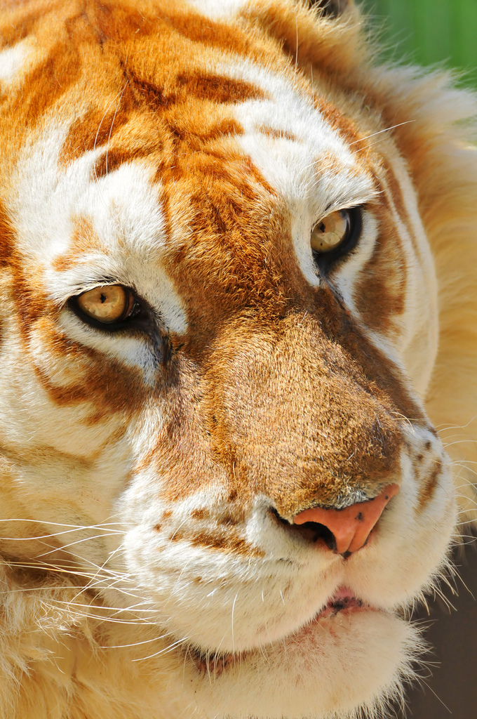 Another Beautiful Golden Tiger by AustrailiazTrueTaz