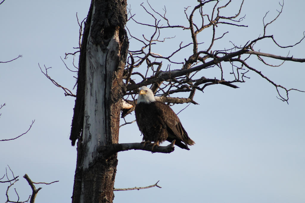 Eagle by Fiercesoul