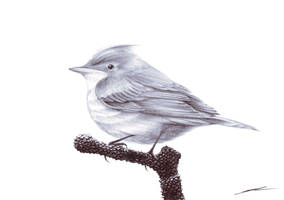 ::: Nur Icterine Warbler ::: by NurRayArt
